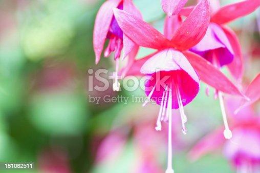 Spring flower. Closeup red fuchsia