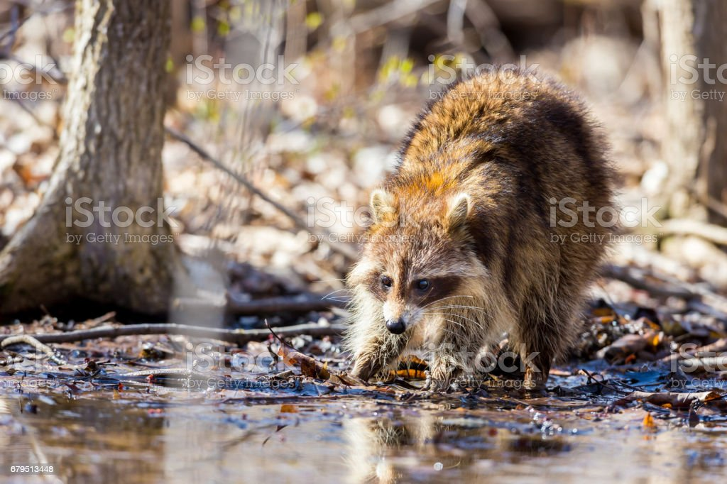 Red furred Raccoon. royalty-free stock photo