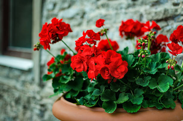 Red garden geranium flowers in pot stock photo