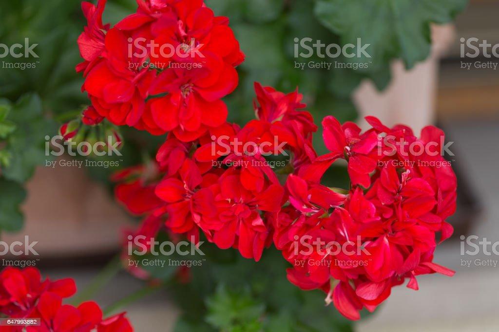 Rote Geranien Blumen Garten – Foto