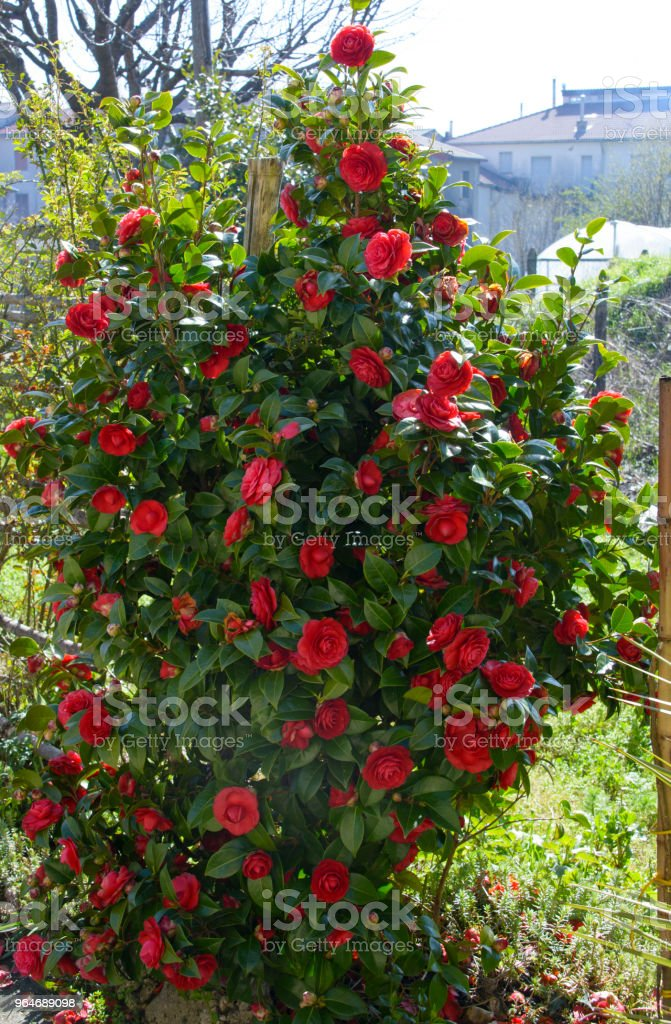 Red garden roses royalty-free stock photo