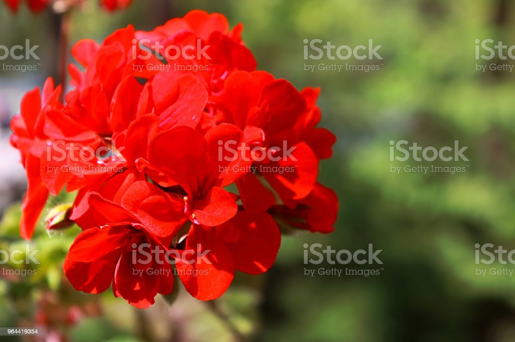 Red geranium close up in the garden with green background - Royalty-free Backgrounds Stock Photo