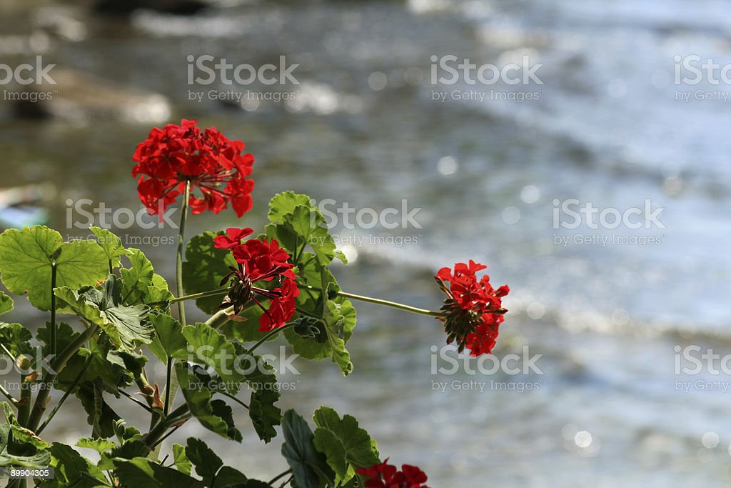 Red geranium flowera by the sea royalty-free stock photo
