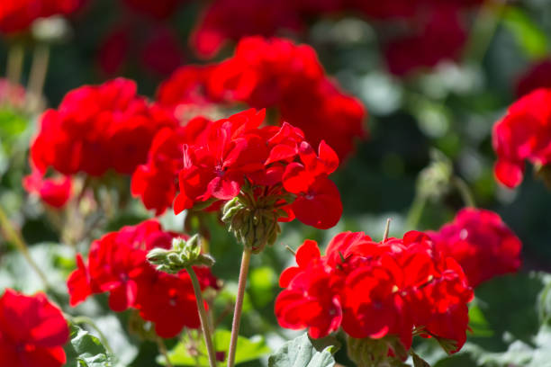 Red geranium flowers in sunny garden close up stock photo