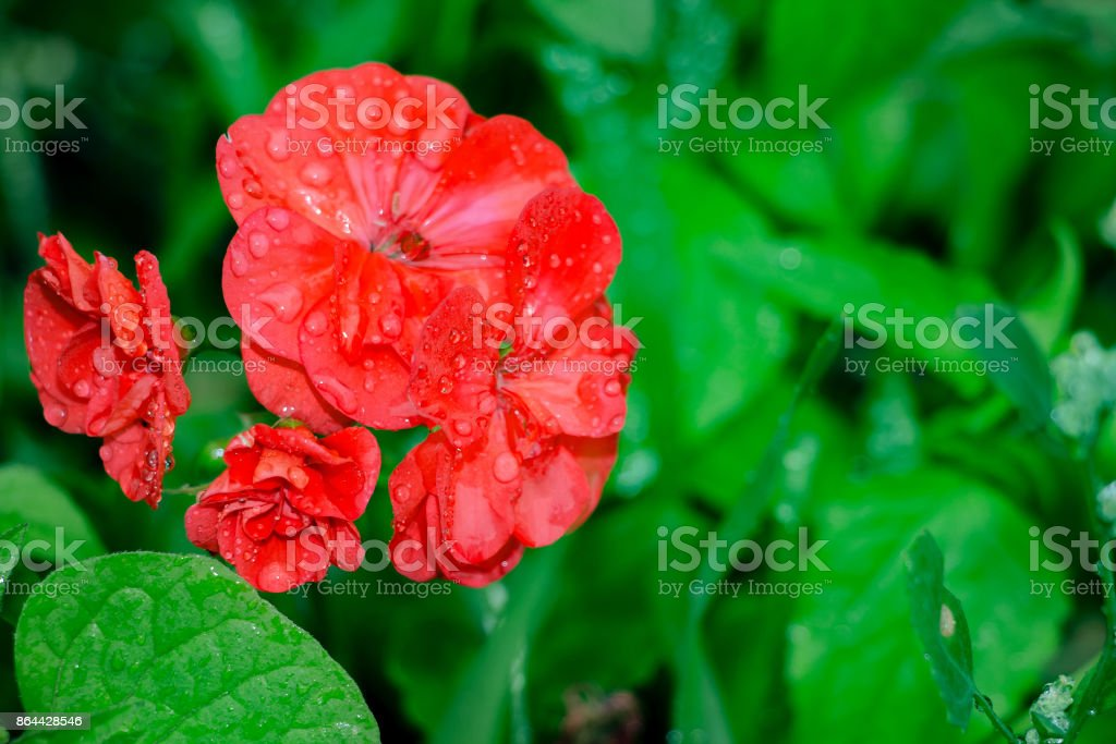 Red geranium flowers on a natural background stock photo