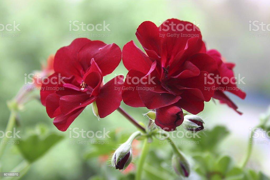 Red Geranium Flowers royalty-free stock photo