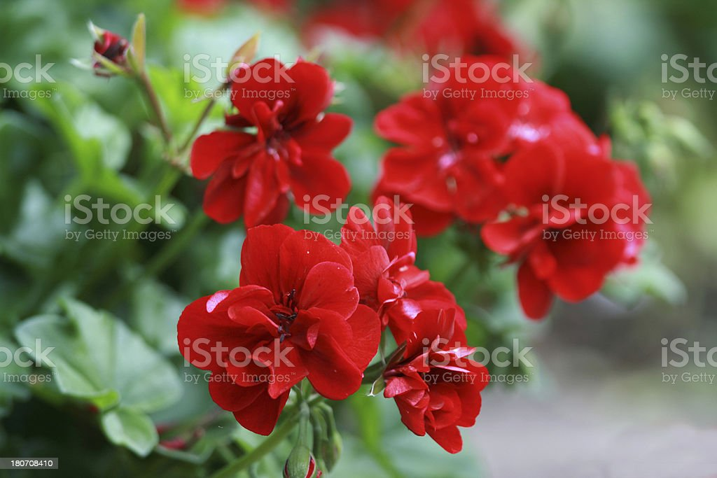 Red Geranium flowers with raindrops royalty-free stock photo