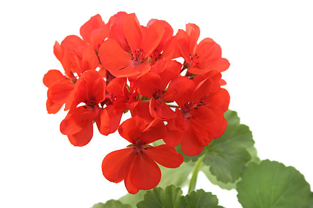Red geranium isolated on white stock photo