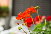 Red Geranium in flower pot on the balcony. Summer day. Close up scene.