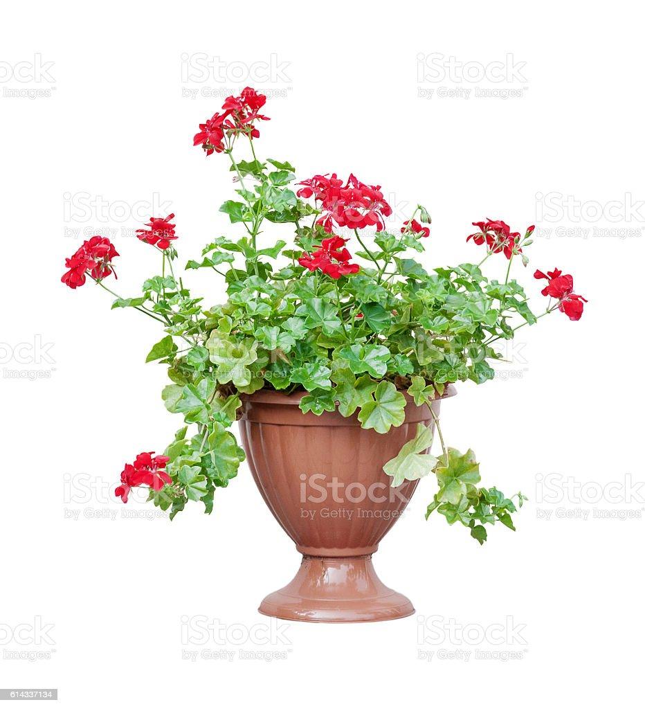 Red geranium on white background – Foto