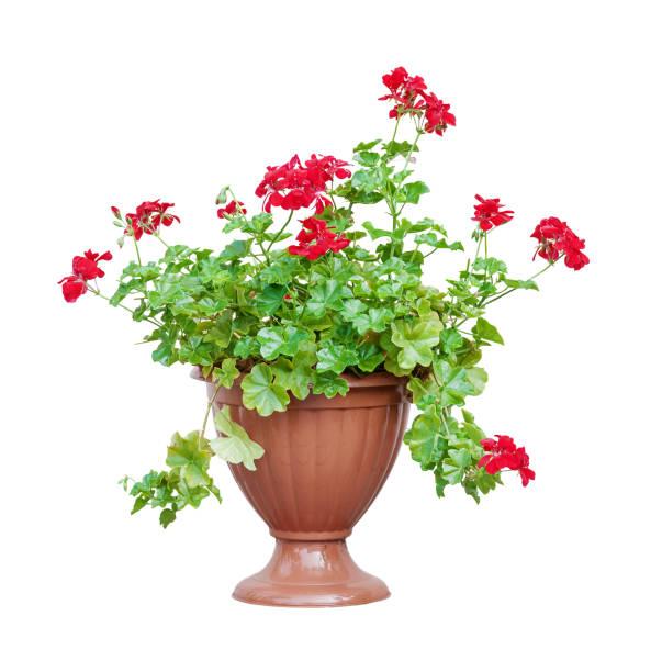 Red geranium on white background picture id672129740?b=1&k=6&m=672129740&s=612x612&w=0&h=kswwareymxfezf m7lzlxwx6lavaonfhta6kaq7cxdq=