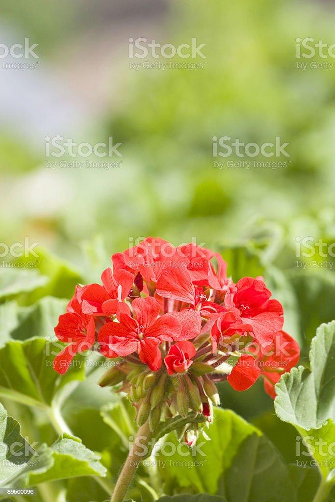Red Geranium royaltyfri bildbanksbilder