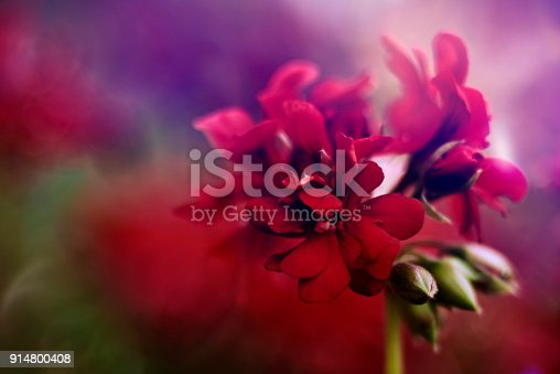 horizontal abstract shot of red geranium flower in nature.selective focus on petals.