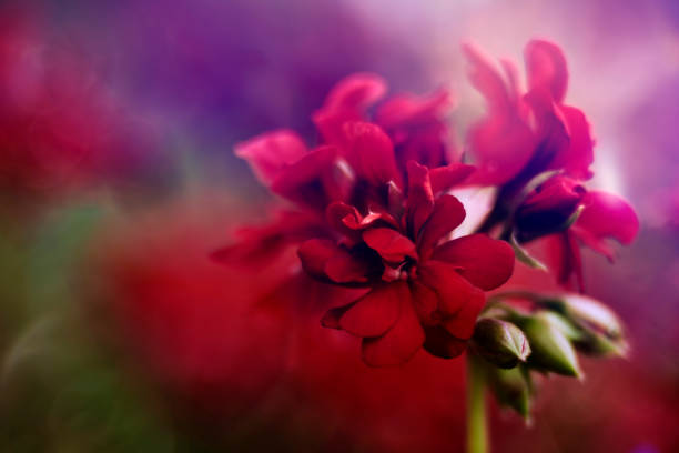 red geranium stock photo
