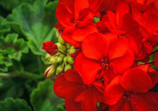 Red Geraniums and Bud stock photo