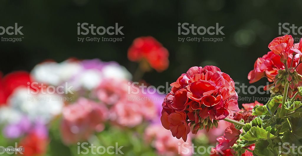 red geraniums royalty-free stock photo