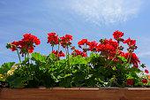 Red Geraniums against Blue
