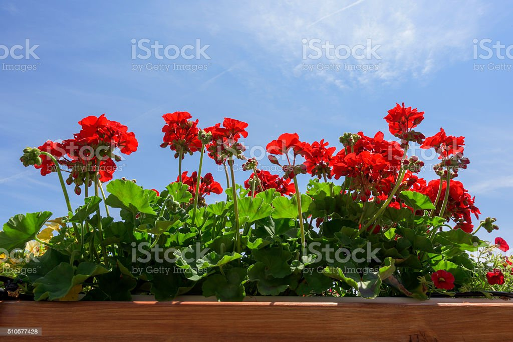 Red Geraniums stock photo