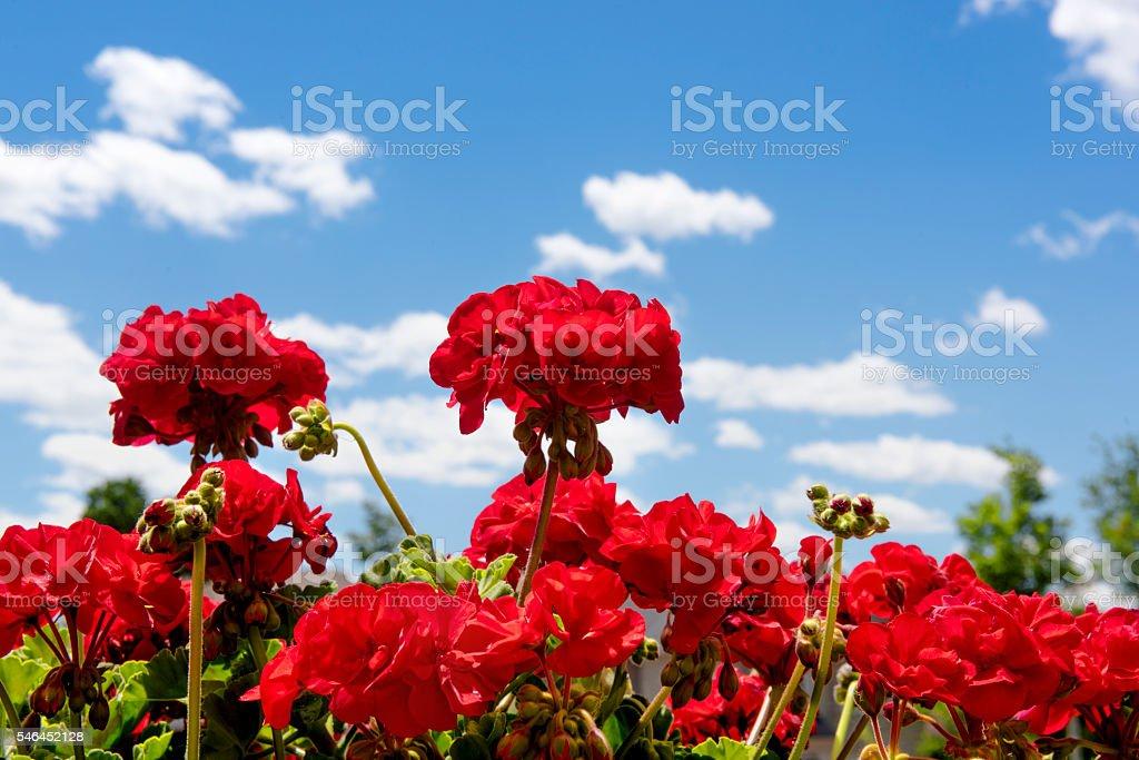 Red Geraniums stock photo