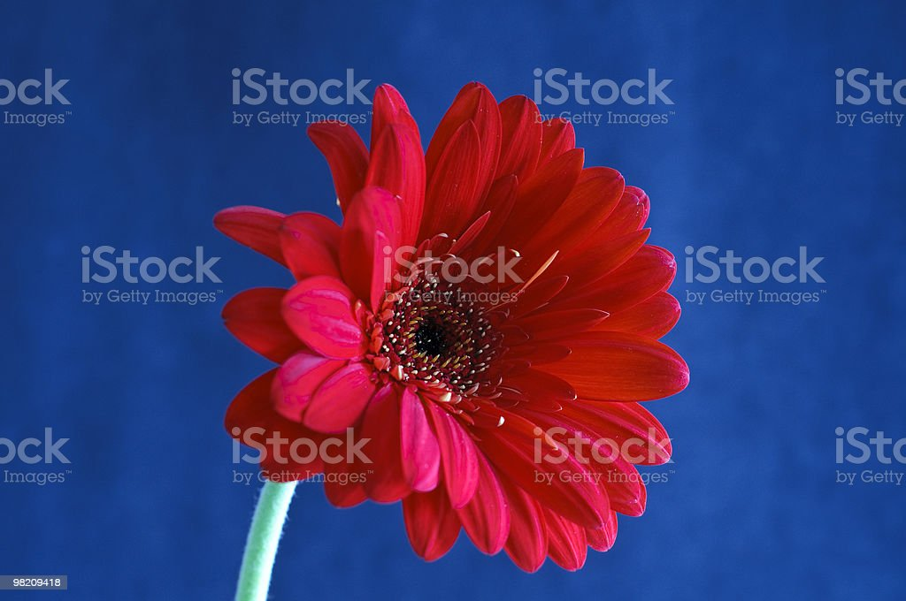 Red Gerber Daisy on Blue Background royalty-free stock photo
