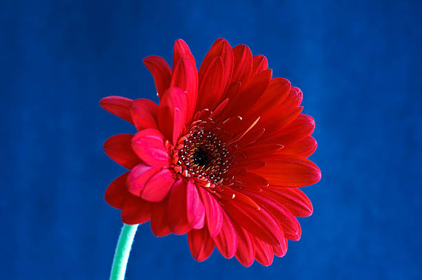 Red Gerber Daisy on Blue Background stock photo