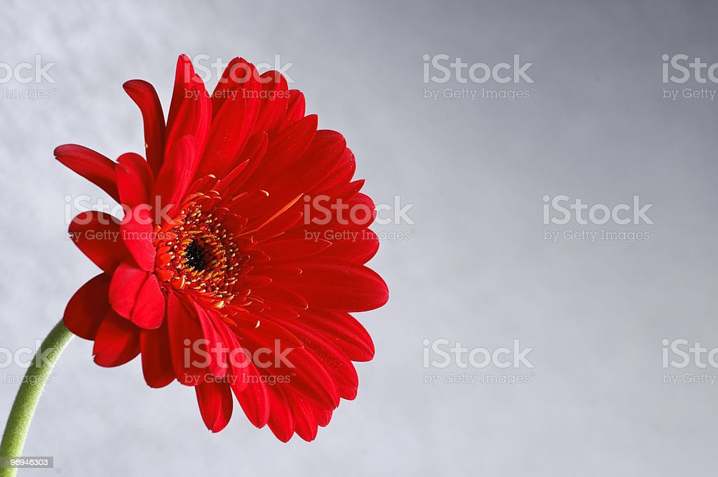 Red Gerber Daisy on Gray Background royalty-free stock photo