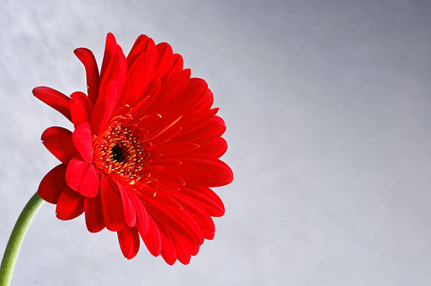 Red Gerber Daisy on Gray Background stock photo