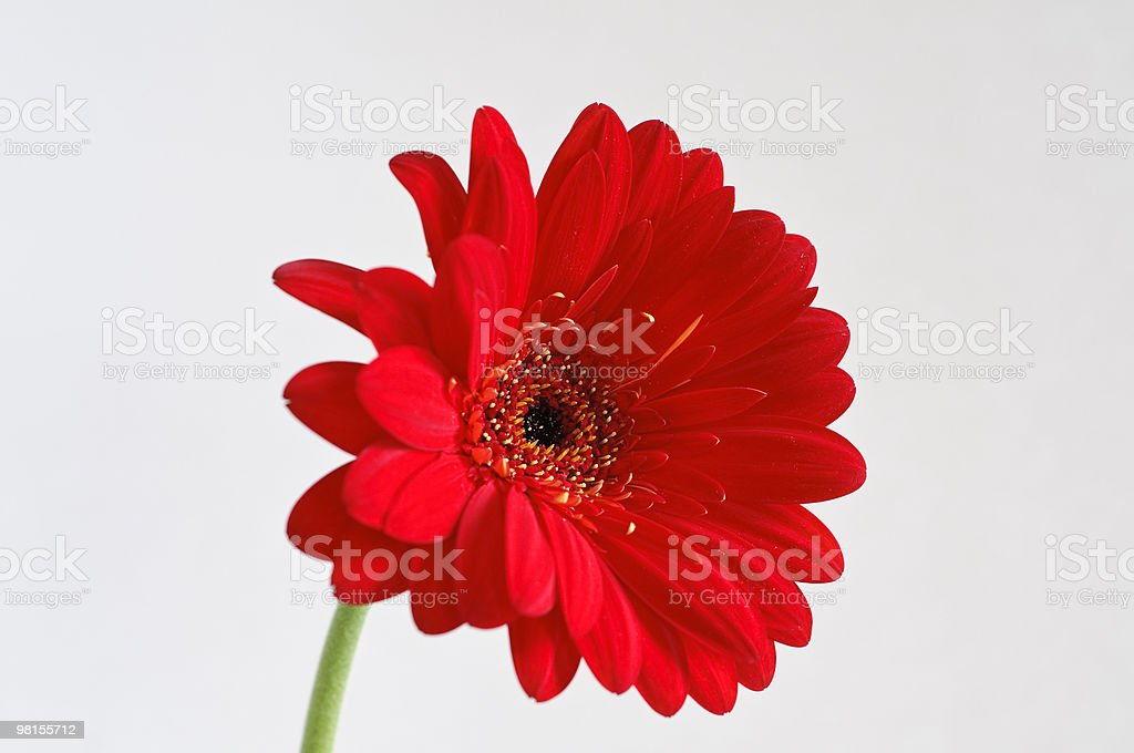 Red Gerber Daisy on Grey Background royalty-free stock photo
