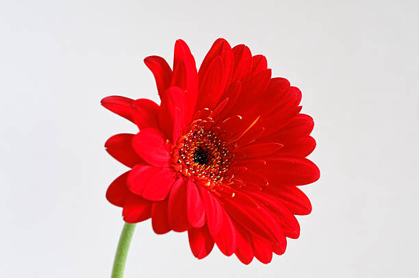 Red Gerber Daisy on Grey Background stock photo