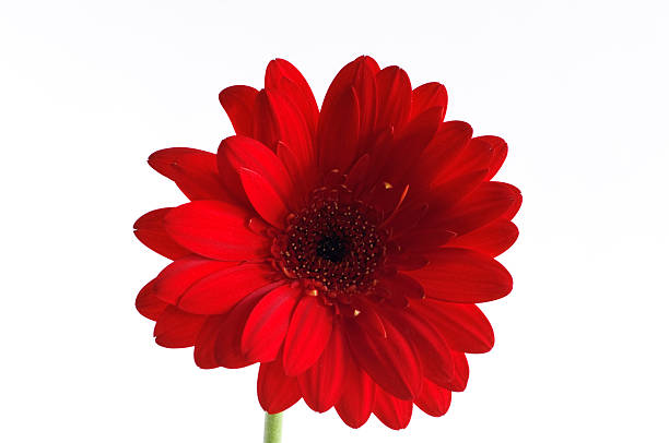 Red Gerber Daisy on White Background stock photo
