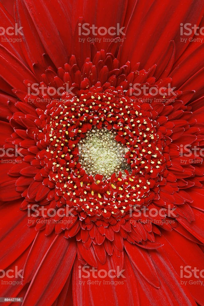 Rosso gerber daisy foto stock royalty-free