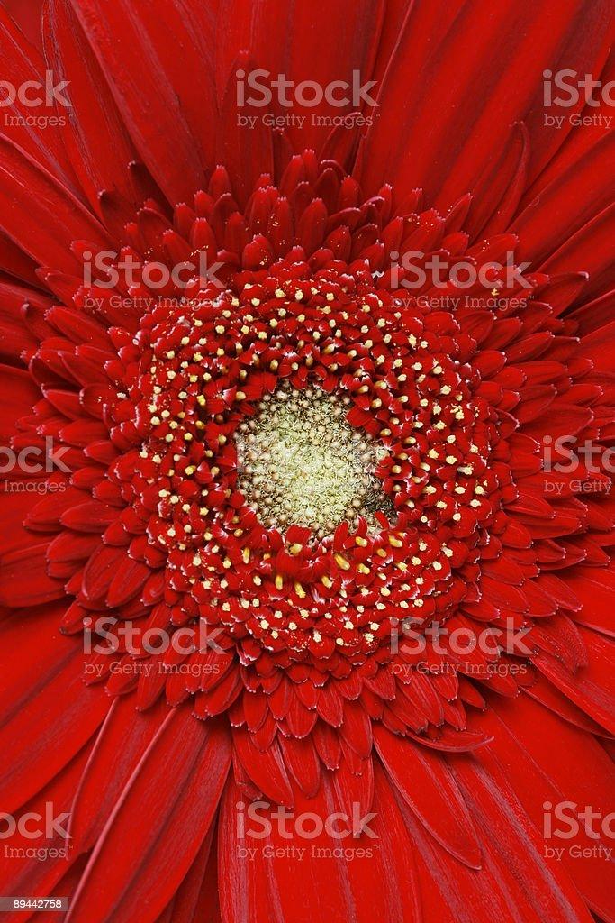 Red gerber daisy royaltyfri bildbanksbilder