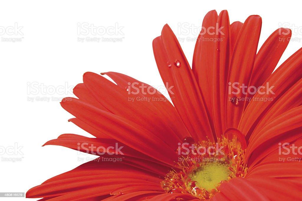 Red gerber macro closeup, rain dew drops, isolated studio shot stock photo