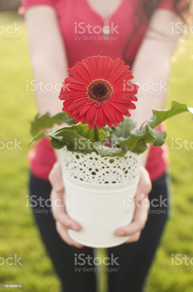 Red Gerbera Daisy for You! royalty-free stock photo