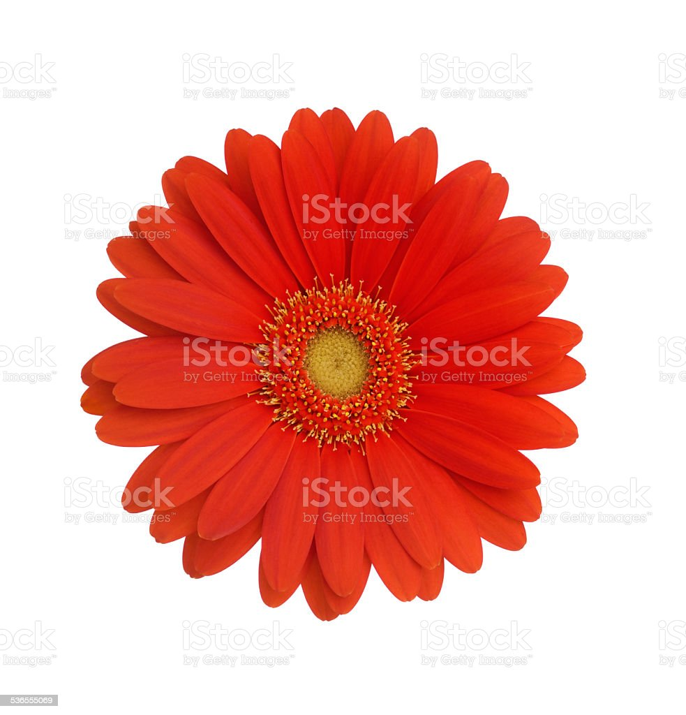 Red Gerbera daisy isolated on white stock photo