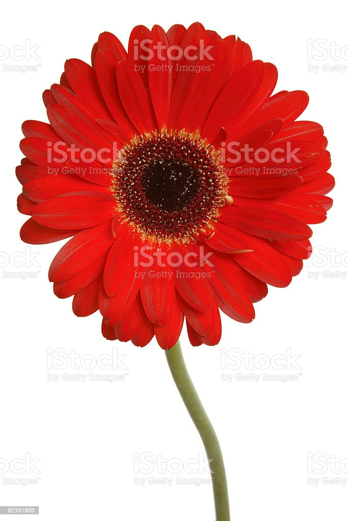 Red Gerbera daisy on a white background stock photo