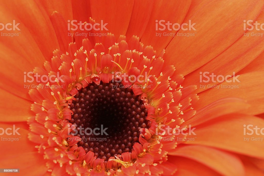 Red Gerbera Daisy stock photo