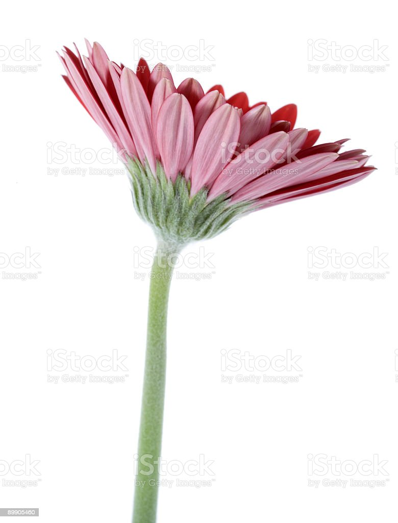 Red gerbera daisy royalty-free stock photo