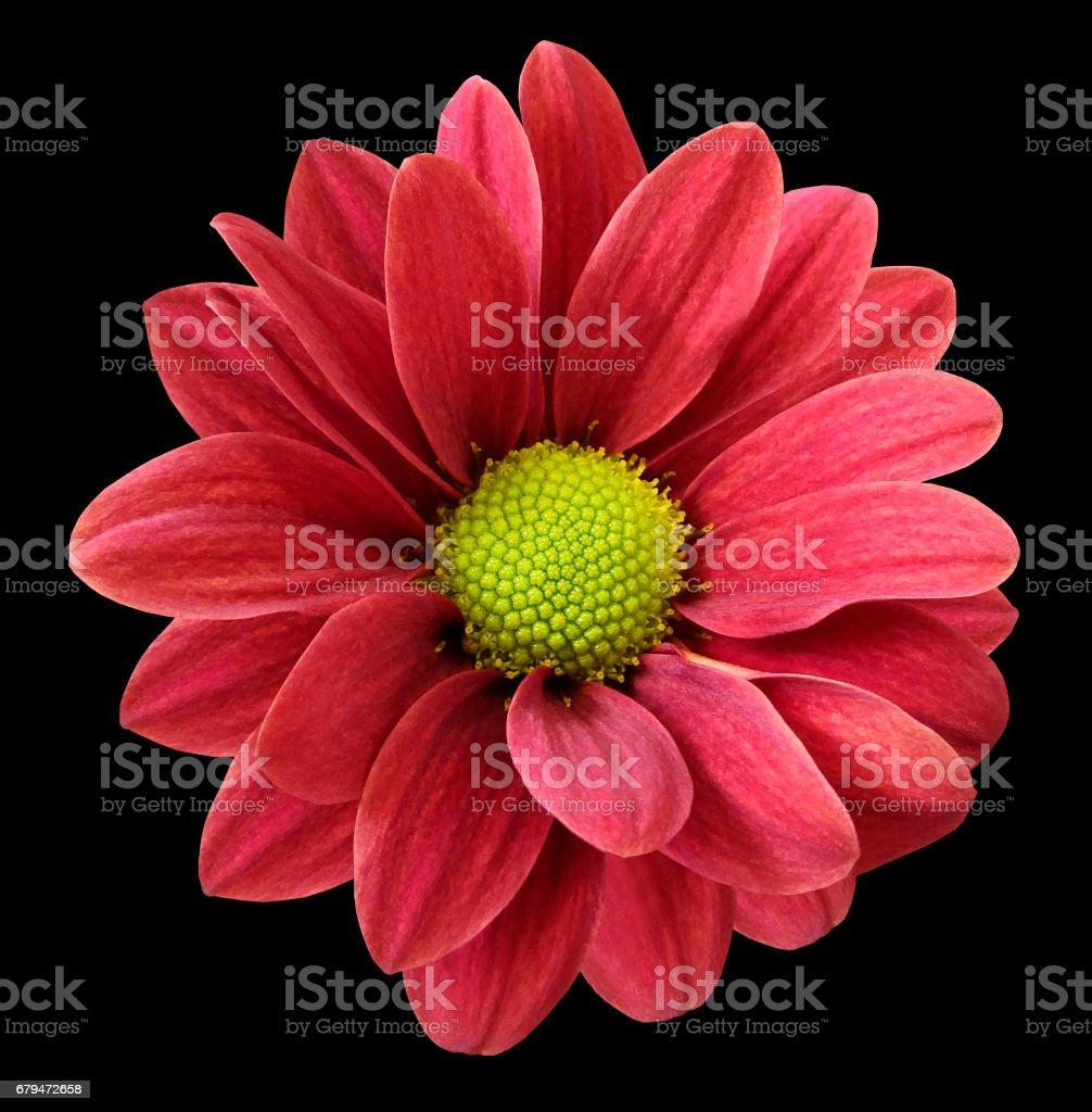 紅色的非洲菊花卉。 黑色分離背景與裁剪路徑。  特寫鏡頭。 沒有陰影。 為設計。 自然。 免版稅 stock photo