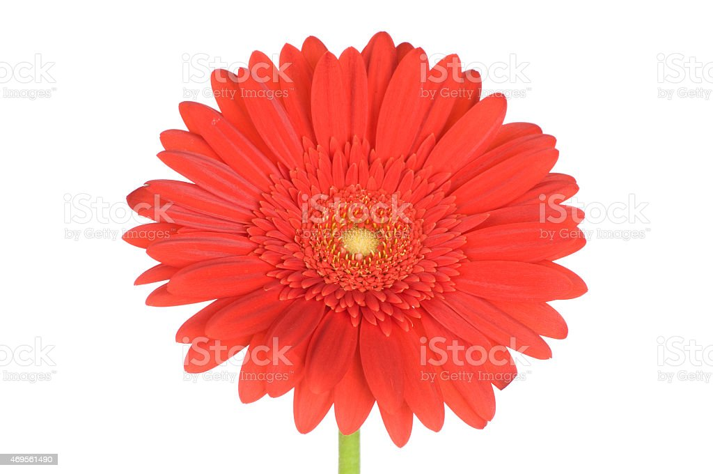 Red gerbera flower stock photo