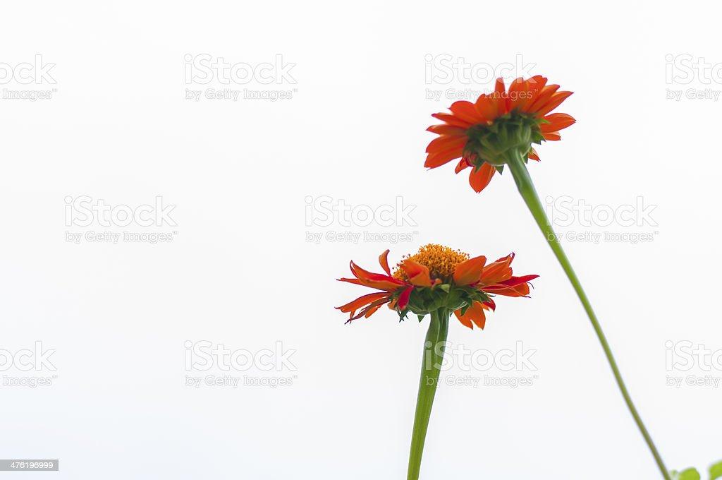 Red gerbera flower royalty-free stock photo