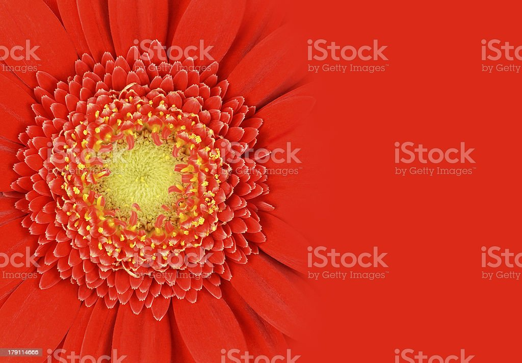 Red Gerbera Flower with Gradient royalty-free stock photo