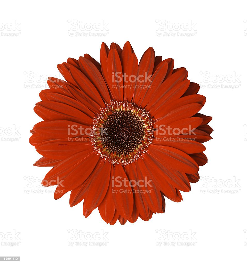 Red Gerbera Flower with path stock photo