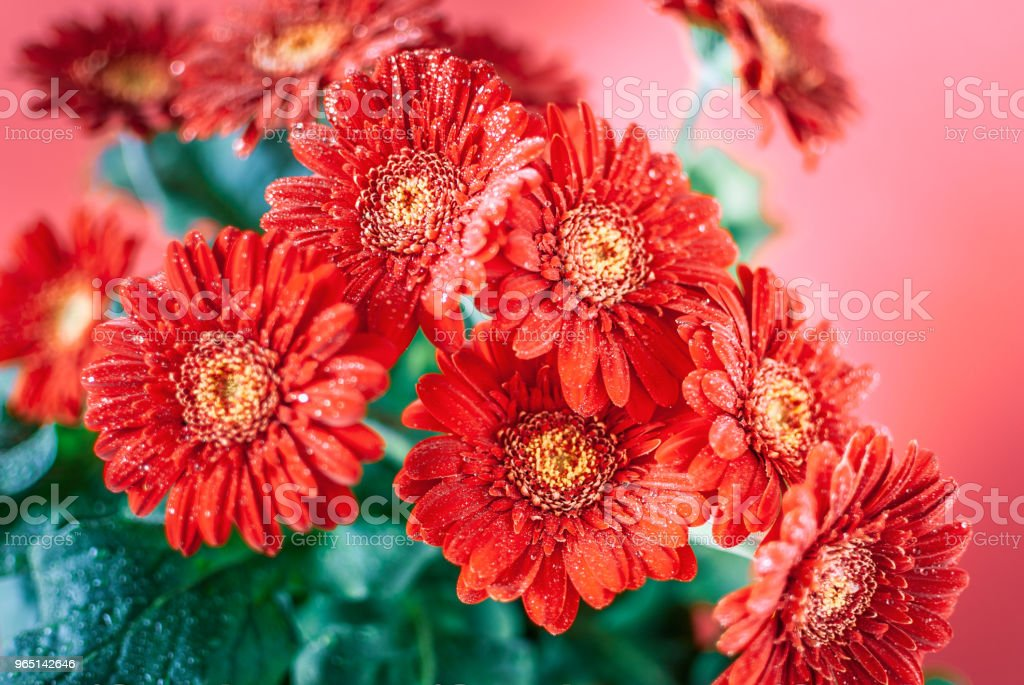 Red Gerbera Flowers with Dew Drops. royalty-free stock photo