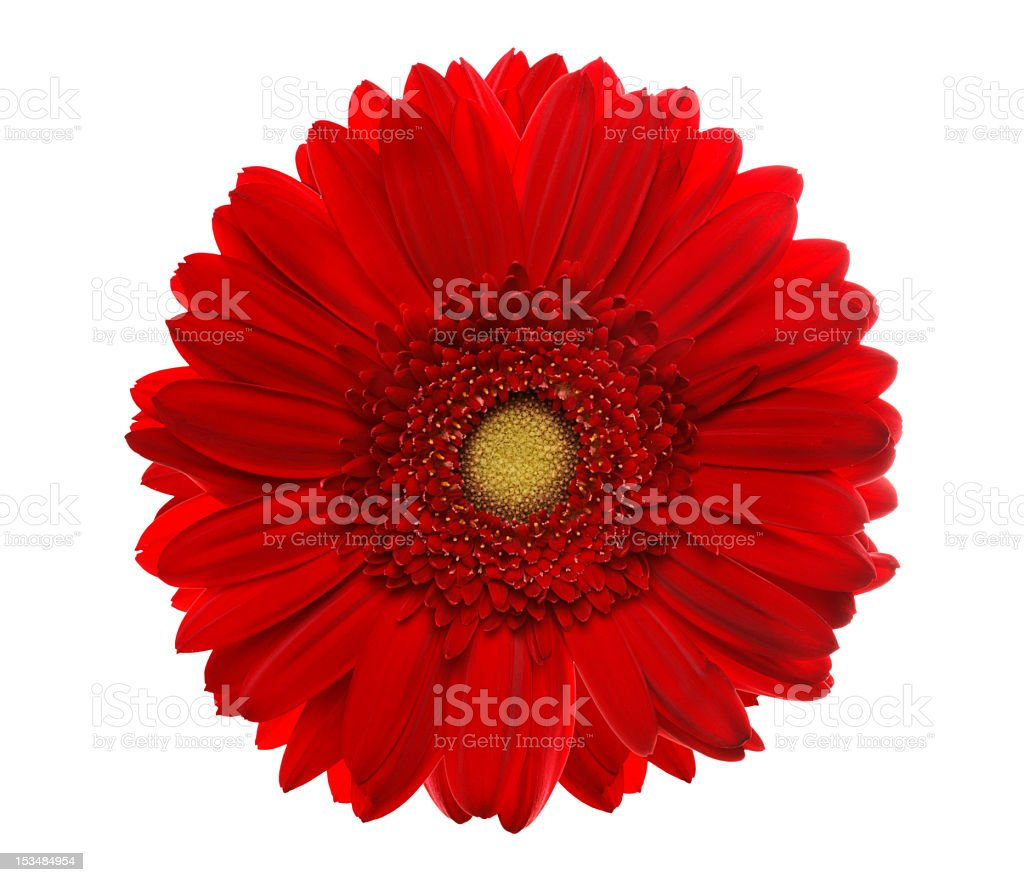 Red gerbera head, closeup shot, isolated on a white background stock photo