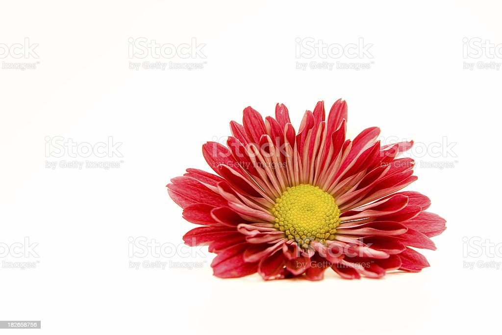 Red gerbera II royalty-free stock photo