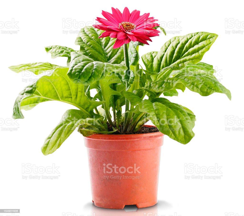 Red Gerbera in Flowerpot stock photo