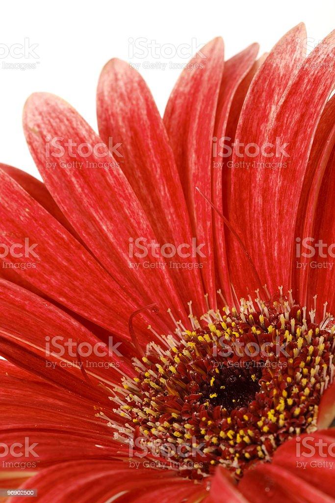 Red gerbera in macro royalty-free stock photo