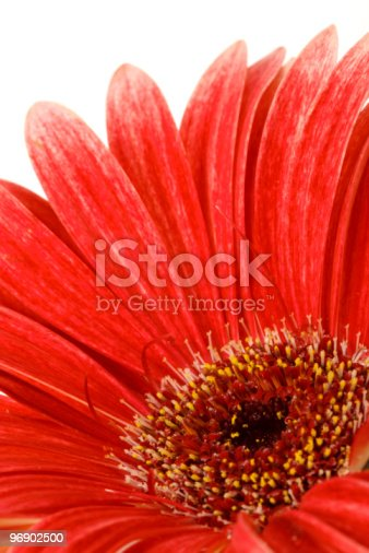Red Gerbera In Macro Stock Photo & More Pictures of Blossom