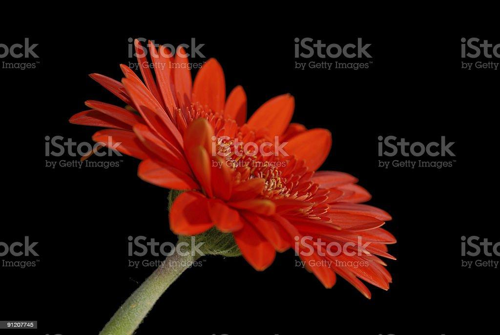 Red gerbera in the dark royalty-free stock photo